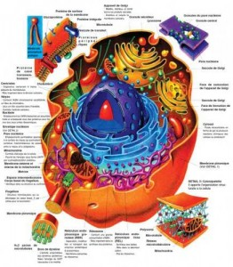 La cellule b